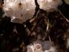 Rhododendron, Langtang Trek