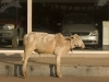 Cow in front of a car show room, Gwalior.