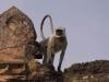 Monkey, Mandu.