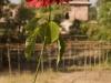 Poinsettia, Mandu.
