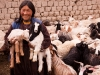 Ladakhi woman with her goats, Rumbak