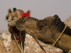 "Camels ""showing a little love,"" Pushkar."