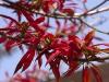 Poinsettia, Shiyong, Nagaland