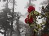 Blooming rhododendron, Goecha La trek.