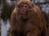 Monkey, Tawang
