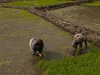 Working in the rice patties, Ziro